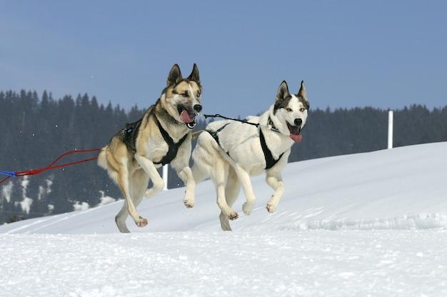 Chien de course dans la neige