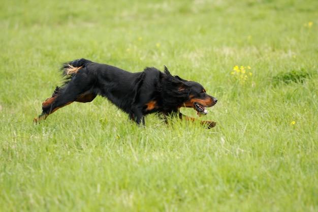 Le chien court sur l'herbe verte