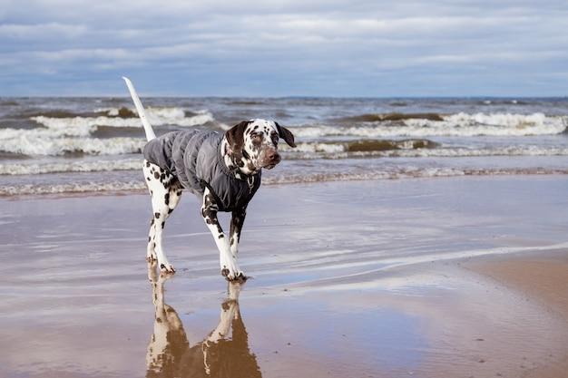 Chien dalmatien marchant dans l'eau, lac portant un manteau de chien chaud. chiot portant un manteau imperméable