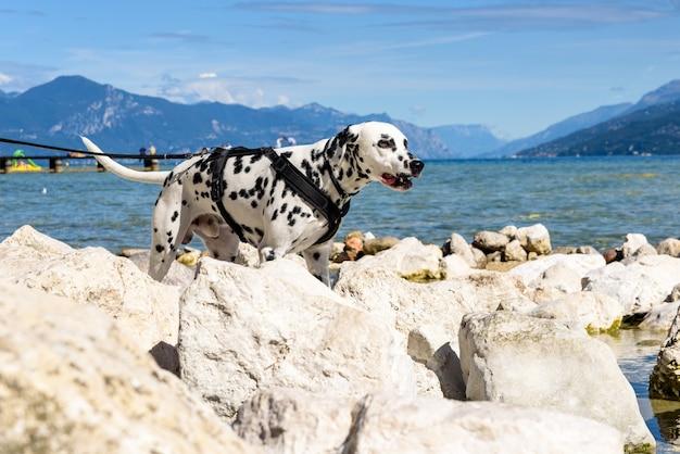 Un chien dalmatien marche sur les rochers au bord d'un lac par une journée d'été ensoleillée.