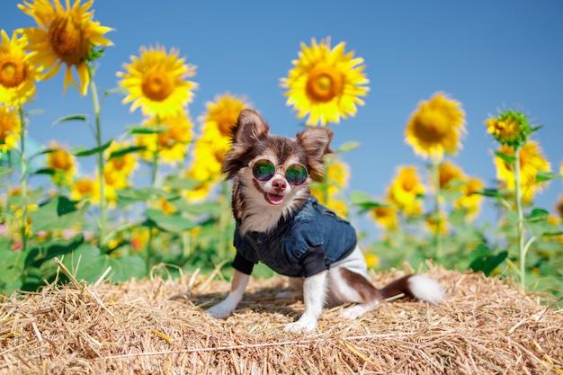 Un chien dans le champ de tournesols sur fond bleu ciel, belle lanscepe en asie.