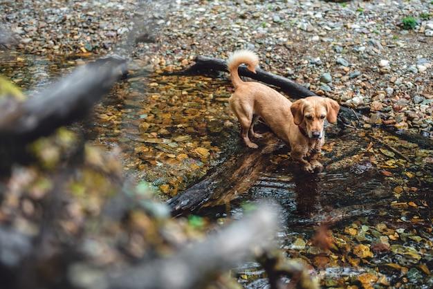 Chien debout dans un petit ruisseau forestier
