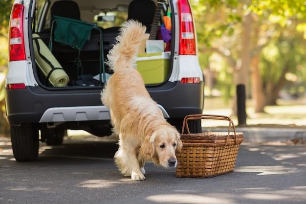 Chien domestique dans le coffre d'une voiture