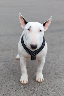 Chien domestique de race bull terrier miniature