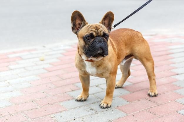 Chien domestique de race bulldog français