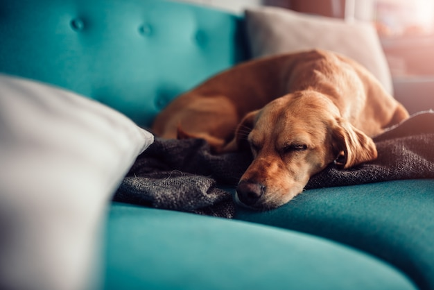 Chien dormant sur un canapé