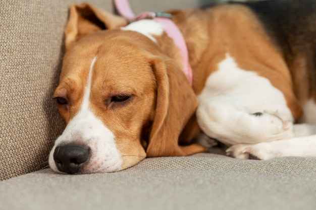 Chien dort sur le canapé. amour et tendresse pour les animaux. fermer.