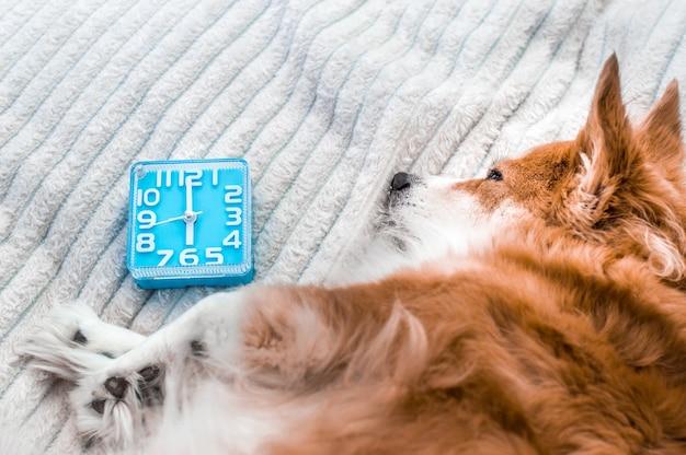Le chien dort à côté du réveil. fermer