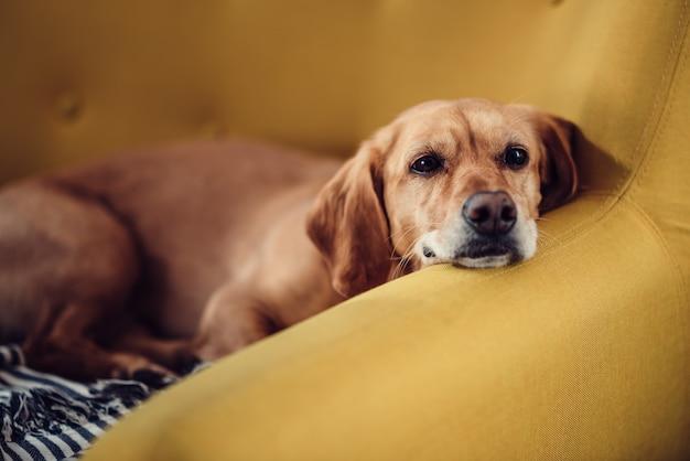 Chien dort sur le sofa