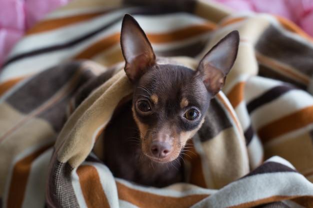 Chien dort sous la couverture
