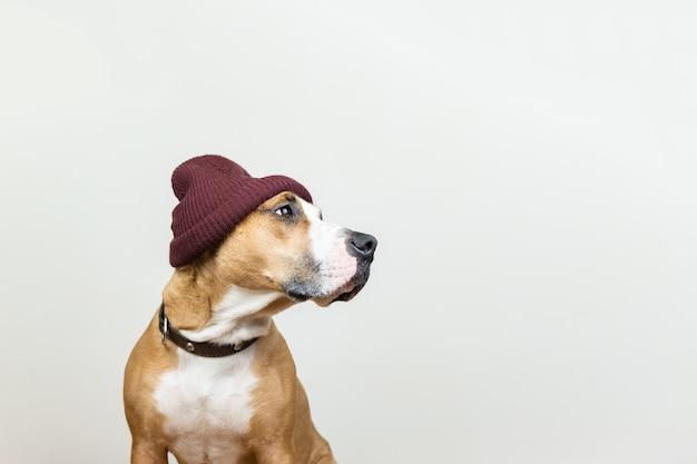 Chien drôle en bonnet rouge hipster. staffordshire terrier examine l'espace de copie, les accessoires d'hiver ou le concept saisonnier