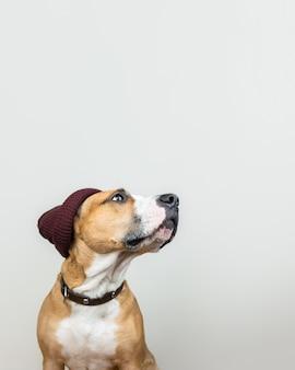 Chien drôle en bonnet rouge hipster. staffordshire terrier regarde l'espace de copie, les accessoires d'hiver ou le concept saisonnier