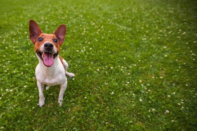 Chien drôle sur l'herbe avec copie espace, jack russell terrier