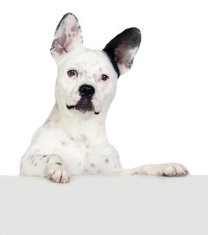 Chien drôle noir et blanc avec de grandes oreilles isolées