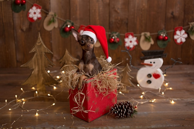 Chien du terrier russe est assis dans une boîte avec des cadeaux. vacances de noël.