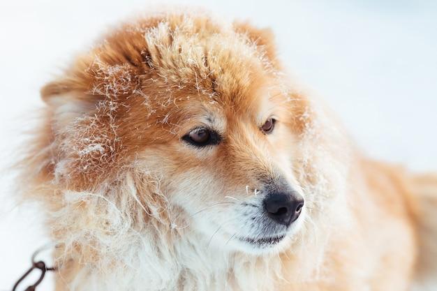 Chien enchaîné rouge moelleux à l'extérieur en hiver sur la neige à la recherche