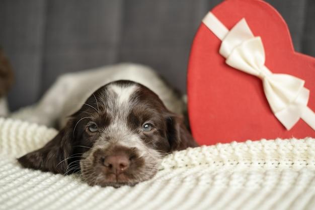Chien épagneul russe brun allongé sur un canapé avec une boîte cadeau coeur. saint valentin. allongé sur le canapé-lit. cadeau.
