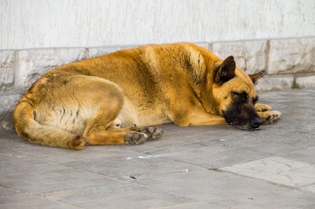 Chien errant sans-abri dormant sur le trottoir