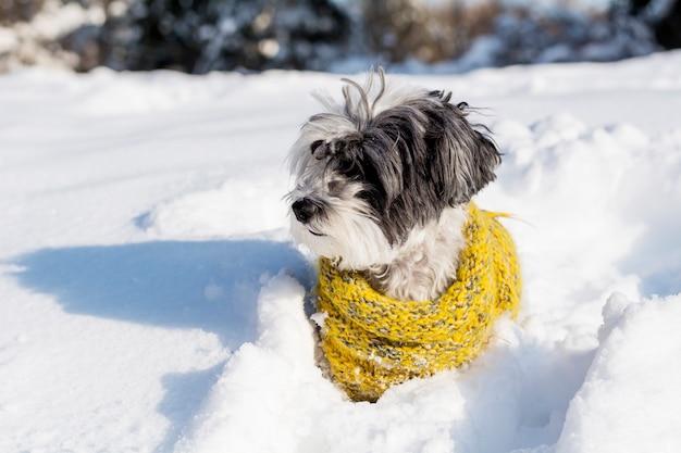 Chien avec un foulard jaune dans la neige