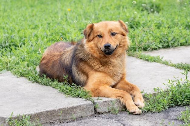 Chien à fourrure brune dans le jardin sur le trottoir parmi l'herbe verte