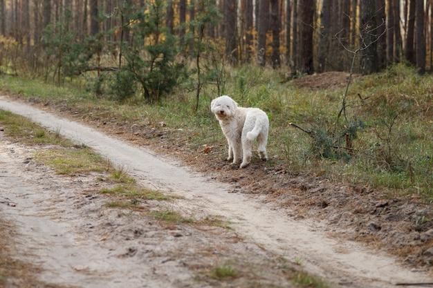 Chien frisé blanc lagotto italien sur une promenade à la forêt d'automne