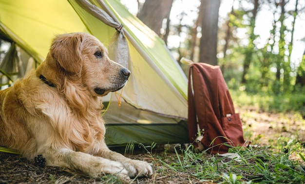 Chien golden retriever allongé près de la tente dans la forêt et regardant en arrière un adorable chien de race pure...