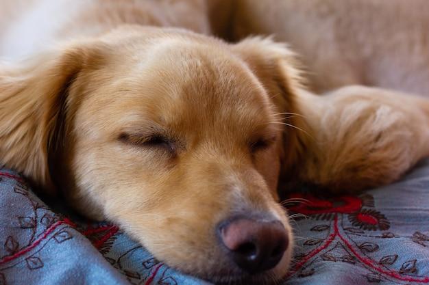 Chien golden retriever brun clair dort couché dans son lit accueil animal de compagnie au repos