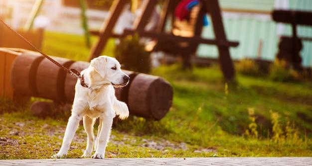 Chien golden retriever dans le parc. meilleur ami. heure d'été.