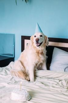 Le chien golden retriever du labrador fête son anniversaire en casquette et avec un gâteau