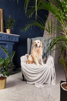 Chien golden retriever sur fauteuil gris dans la maison de luxe ou le hall de l'hôtel