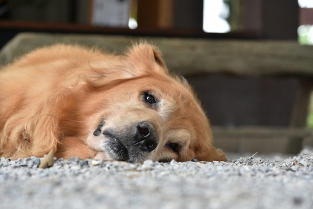 Chien golden retriever froid en regardant la caméra allongée sur le sol