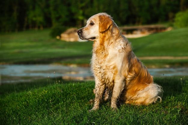 Chien golden retriever sur l'herbe verte