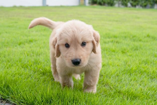 Le chien golden retriever marche sur l'herbe dans la cour et avec impatience