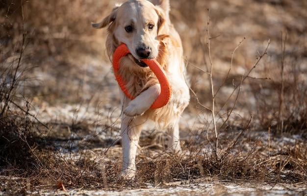 Chien golden retriever qui court avec un cercle de jouet orange le tenant dans sa bouche sur le terrain avec un gr...