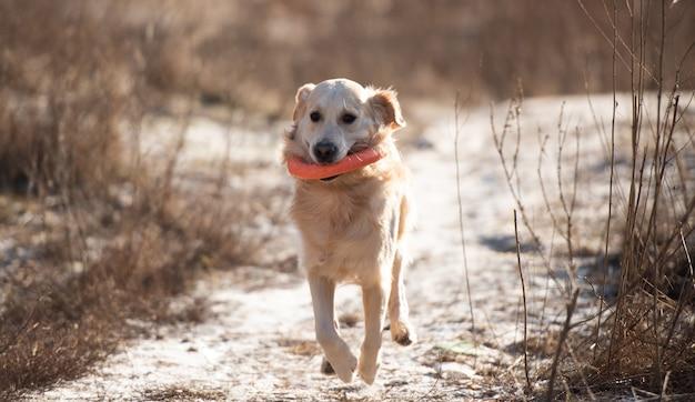 Chien golden retriever qui court avec un jouet dans ses dents à l'extérieur au début du printemps, mignon chien labr...