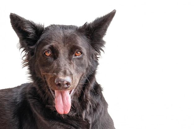 Le chien gris noir souffre de la chaleur dans la rue de la ville. il sortit sa langue de la chaleur. gros plan de la tête, isoler.