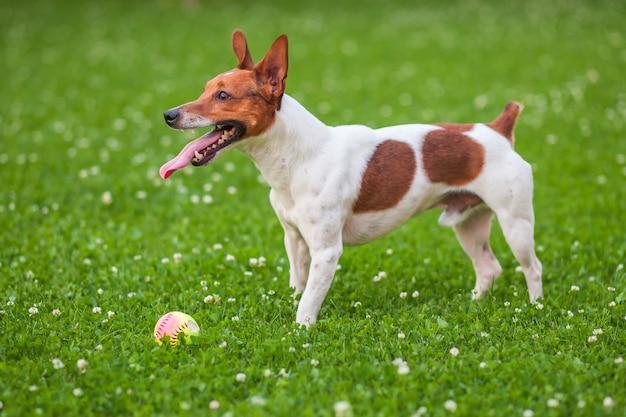 Chien sur l'herbe verte, jack russell terrier