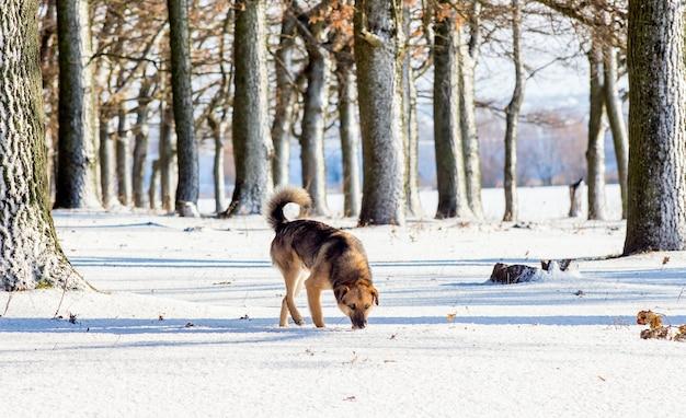 Chien en hiver en forêt parmi les arbres enneigés_