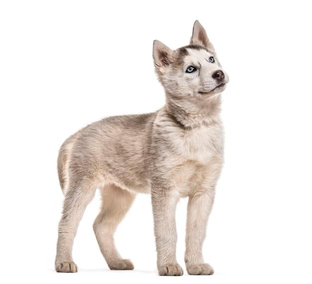 Chien husky, 2 mois, debout sur fond blanc