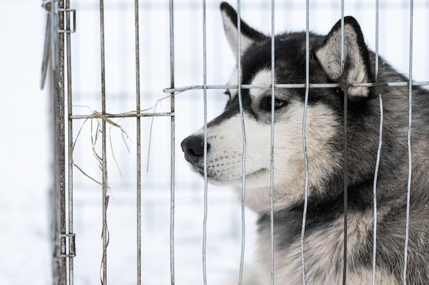 Chien husky en cage en attente de propriétaire pour le transport à la compétition de chiens de traîneau. pet regarde autour de lui avec espoir.