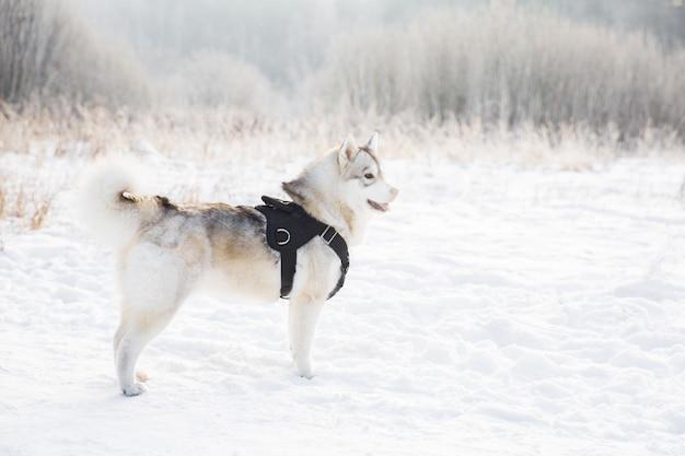 Chien husky sur un champ neigeux dans la forêt de l'hiver. chien de race