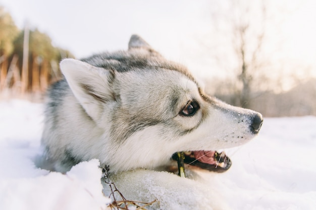 Chien husky sur un champ neigeux dans la forêt de l'hiver. pedigree chien couché sur la neige