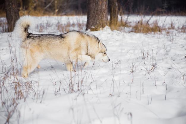Chien husky sur un champ neigeux dans la forêt de l'hiver. pedigree chien marchant dans la forêt