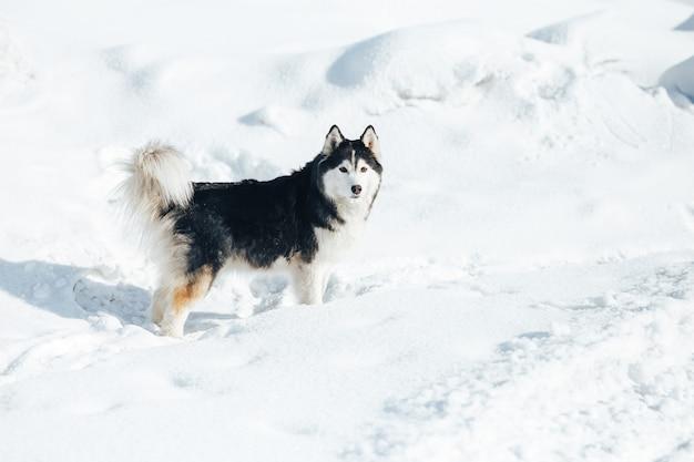 Chien husky couché dans la neige. husky sibérien noir et blanc aux yeux bleus sur une promenade dans le parc d'hiver.