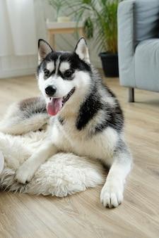 Chien husky couché
