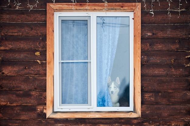 Chien husky dans la fenêtre de la maison