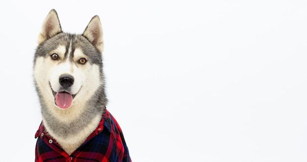 Chien husky drôle en chemise à carreaux est montré la langue. visage drôle d'animal familier sur le fond blanc avec la bannière d'espace de copie
