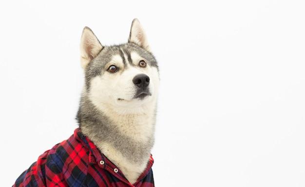 Chien husky drôle en chemise à carreaux est montré langue