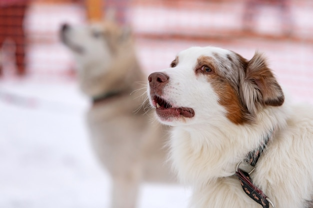 Chien husky hurle et aboie, animal drôle. animal drôle sur la marche avant la formation de chiens de traîneau.