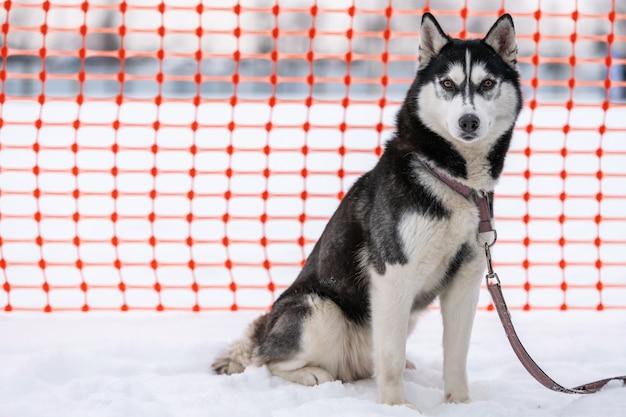 Chien husky en laisse, en attente de course de chiens de traîneau, fond de clôture piste orange.